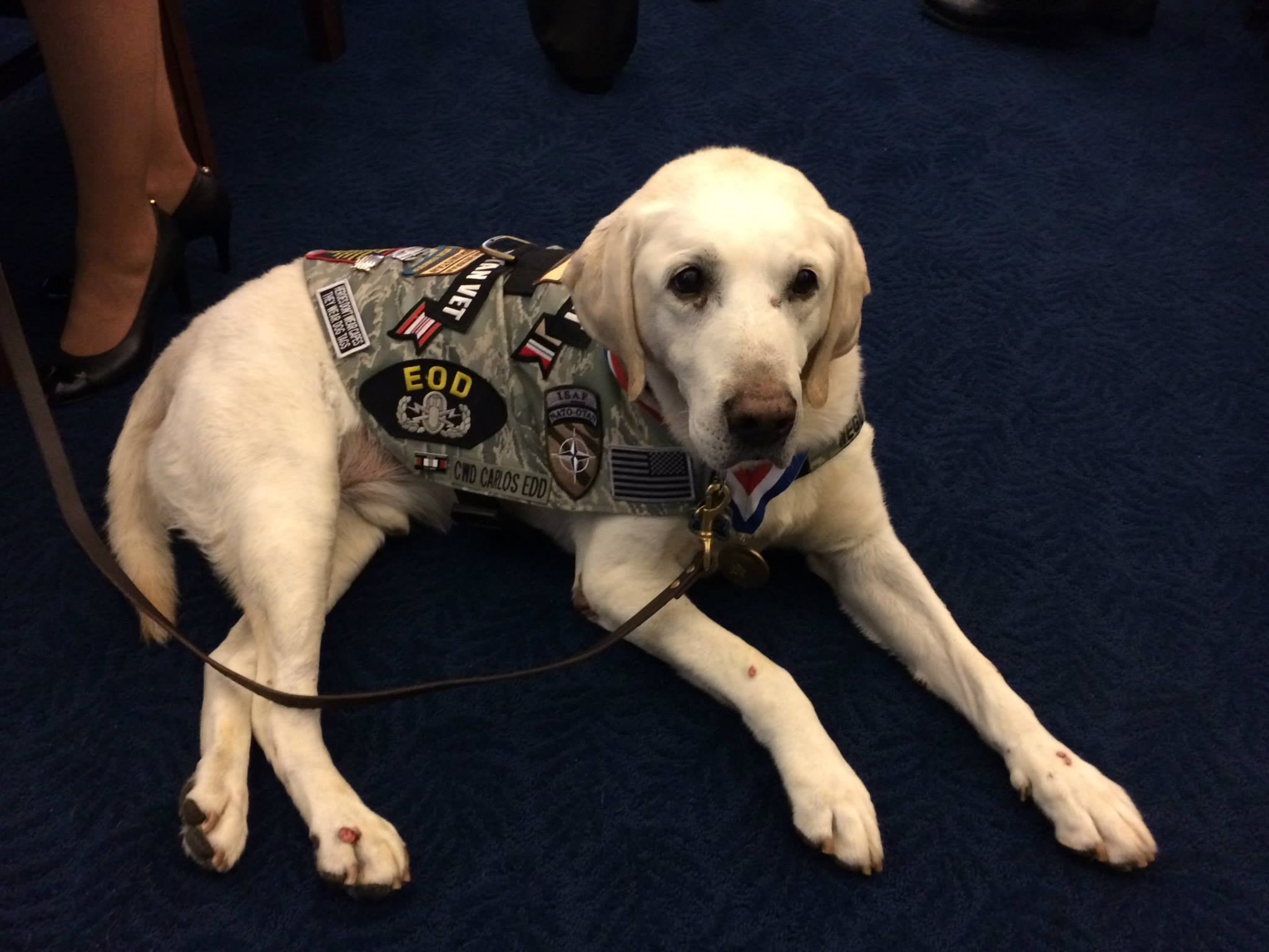 Contract Working Dog Carlos sits at a briefing from the American Humane Society on Capitol Hill. (Photo: Facebook/American Humane Association