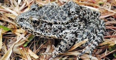 Dusky Gopher Frog (Photo: USDA Flickr)