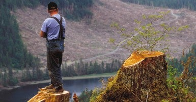 A worker from the logging operations on Alaska's Prince of Wales Island in the Tongass National Forest surveys the view from a freshly cut tree. (File photo: Clark James Mishler/Newscom)