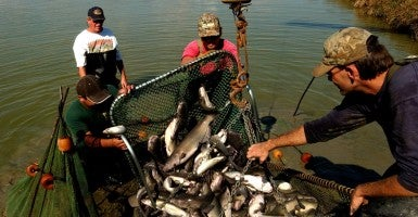 Catfish farmers in Arkansas haul in a fresh catch. New regulation on foreign competitors could give domestic producers a huge boost. (Photo: The Washington Times/ZumaPress/Newscom)