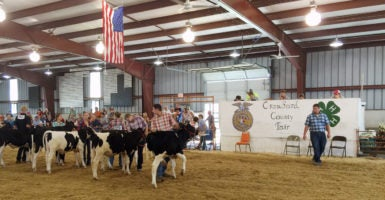 Residents show off their livestock at the Crawford County Fair. The fair is taking place this week in Bucyrus, Ohio, located southwest of Cleveland. (Photo: Rob Bluey/The Daily Signal)