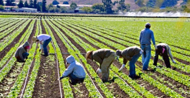 Farm workers weed spinach by hand in  San Luis Obispo, California. Findings of a National Academy of Sciences report indicate that under amnesty for illegal immigrants, government would have to raise taxes immediately by $1.29 trillion and bank it to cover future costs.   (Photo: iStock Photos)