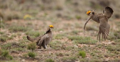 Lesser prairie chickens in New Mexico. (Photo: Bob Steele/BIA/Newscom)