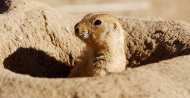 A prairie dog (Photo: Justin Sullivan/Getty Images)