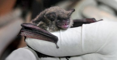 Northern Long-Eared Bat (Photo: Brandon Keim/Creative Commons)