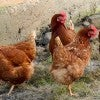 Four pet chickens are causing Rep. Bruce Braley some problems in Iowa. (Phot