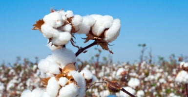 If Congress opens up the Agriculture Risk Coverage and Price Loss Coverage programs to the cotton industry, taxpayers will be out an additional $1 billion a year. (Photo: iStock Photos)