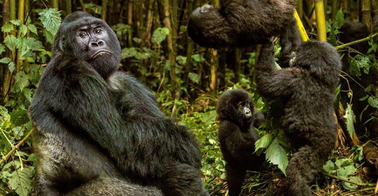 Reporting from Rwanda at the Gorilla Summit