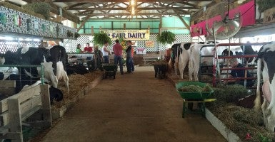Animals were more popular than politicians at the Columbiana County Fair. (Photo: Rob Bluey/The Daily Signal)
