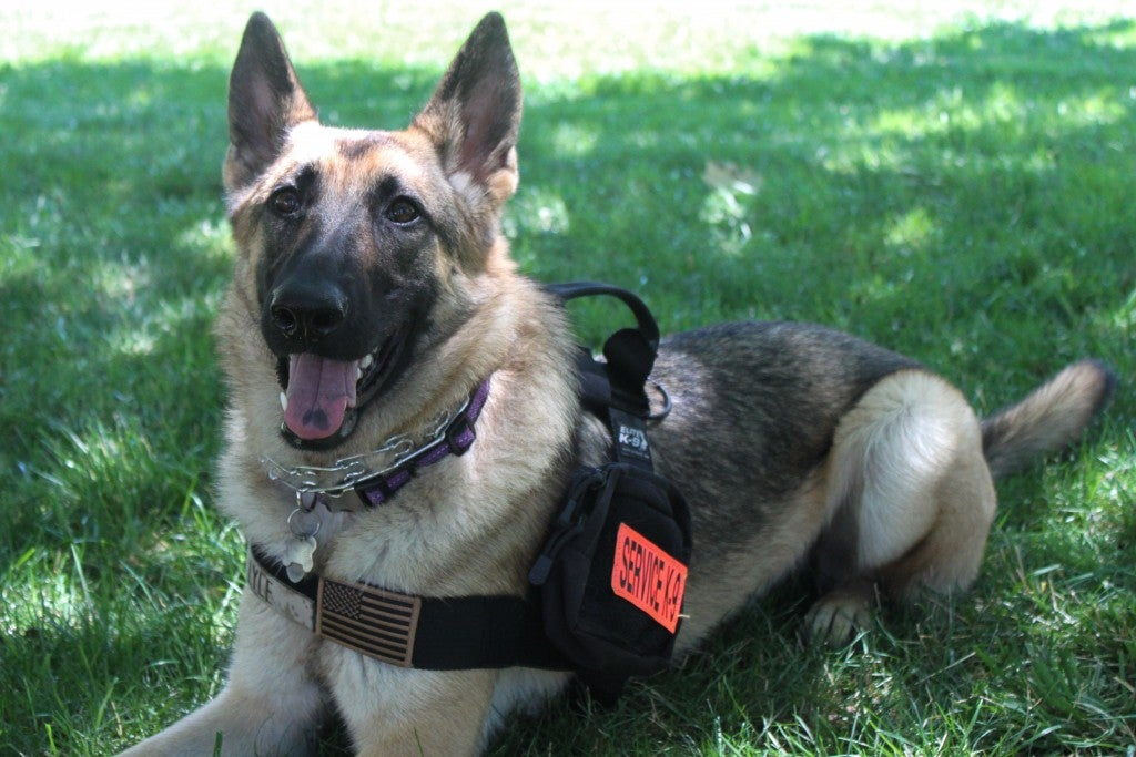 Kaya rests in the grass while wearing her service dog vest, complete with an American flag patch and Lyle's name. (Photo: Chelsea Scism/The Daily Signal)