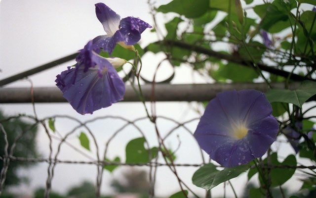 Morning Glories (CHRISTINE DeLESSIO KRT/Newscom)