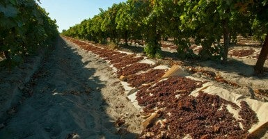 Harvested Thompson Seedless grapes laid out on paper trays for drying into raisins / near Dinuba, California. (Photo: Steve Goossen/Newscom)