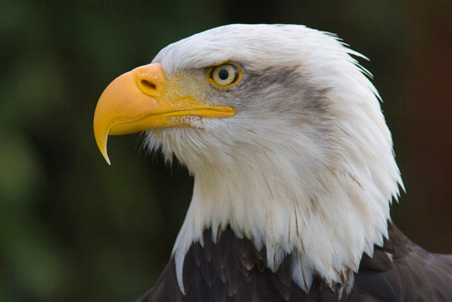 Bald eagle in captivity, Hampshire, England, United Kingdom, Europe