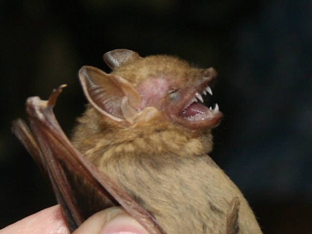 Southern Yellow Bat (Photo: Wikimedia)
