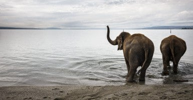 Circus Knie elephants bathe in Lake Geneva