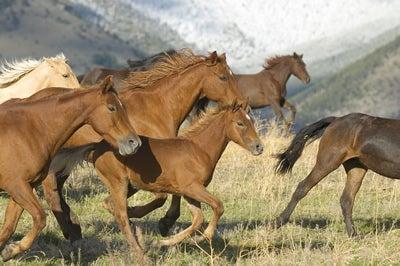 horse-stampede