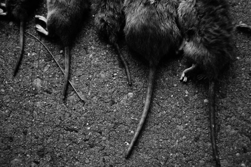 At a single dumpster, the team were able to catch 11 rats. (Photo: (Johnny Milano/Polaris)