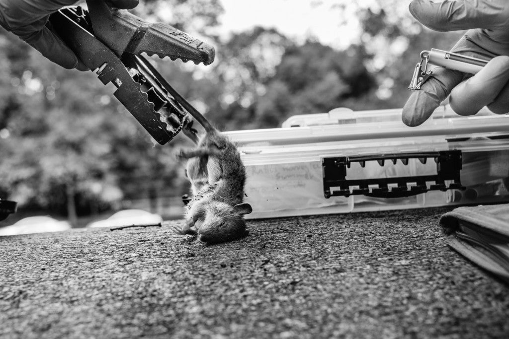 Matt Combs dumps a rat out of the snap trap as he prepares to weigh, sampke, and categorize the finding. (Photo: Johnny Milano/Polaris/Newscom)