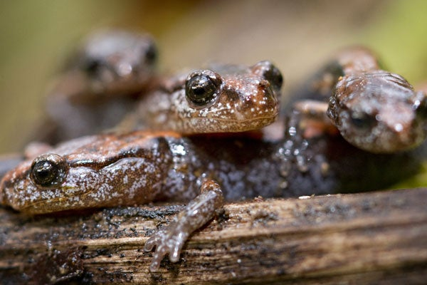 salamander110913