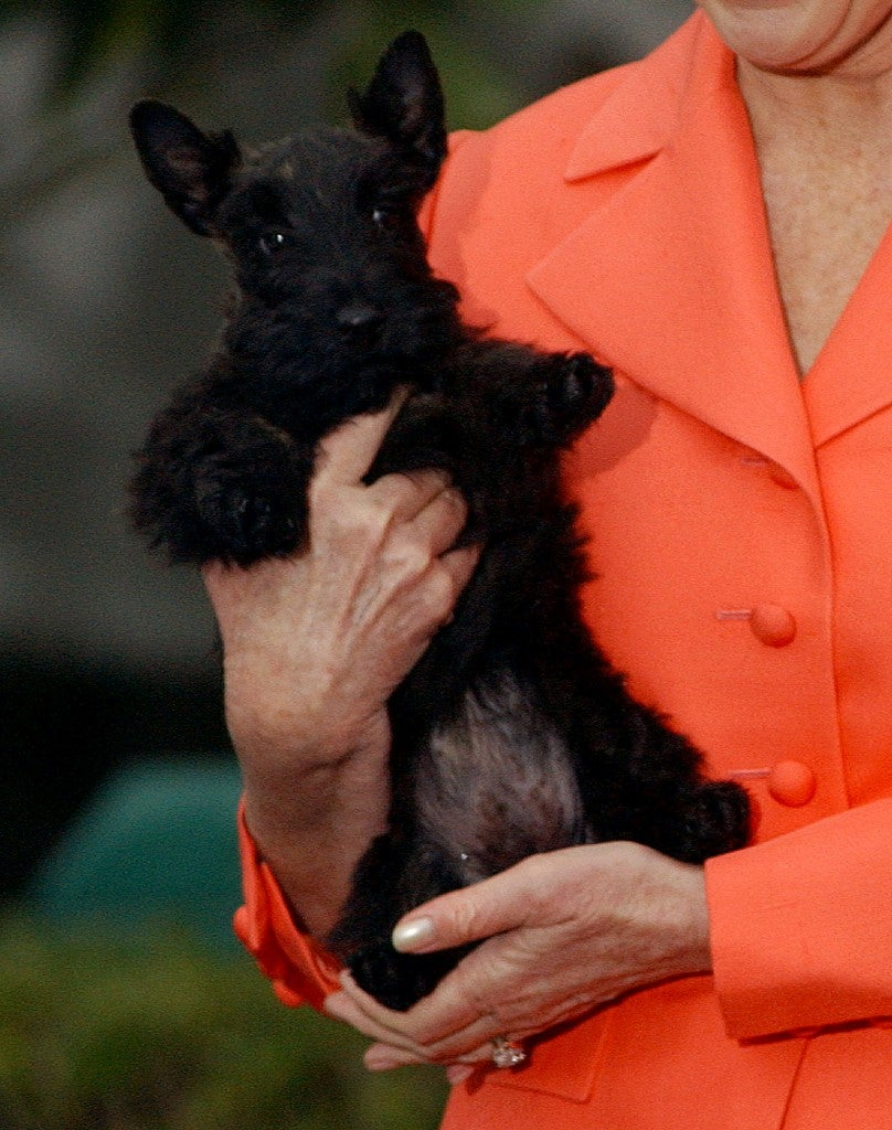 Scottish Terrier Mrs Beazley joins the White House